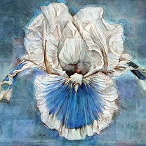 Iris on Blue by Chris Duke
