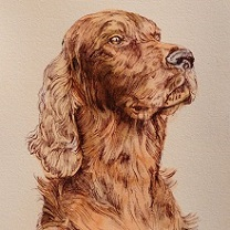 Irish Setter Study by Chris Duke