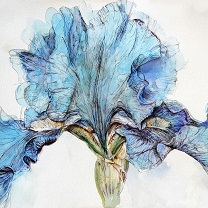 Blue Iris by Chris Duke