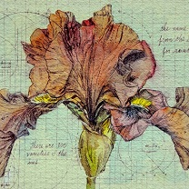 Iris Study by Chris Duke