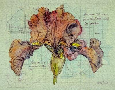 Iris Study by Chris Duke